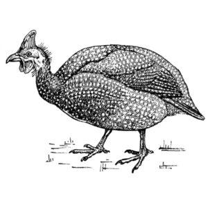 English Guinea Fowl
